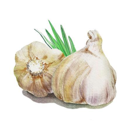 garlic-watercolor-illustration-irina-sztukowski